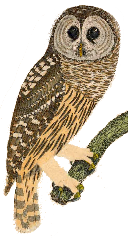 barred_owl_reese
