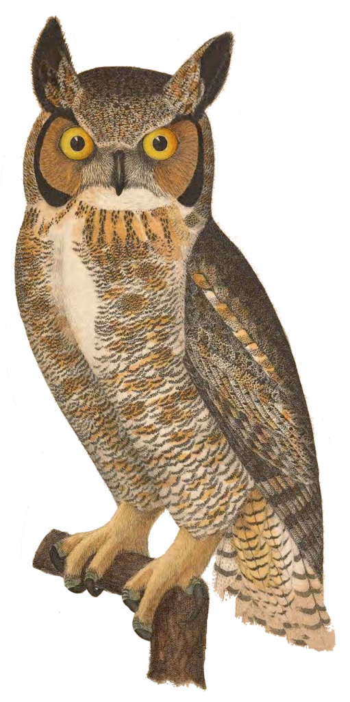 great_horned_owl_reese2